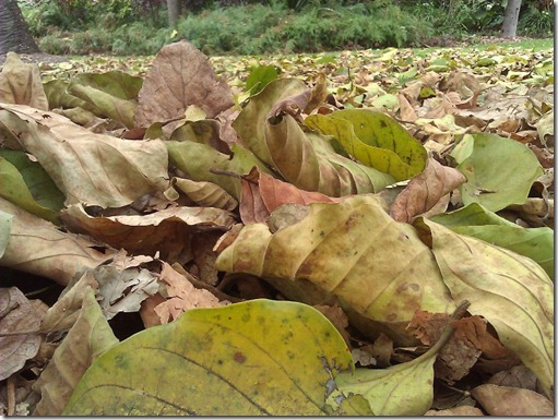 Crispy crunchy leaves in the Botanical Gardens. Photo by Nic Freeman