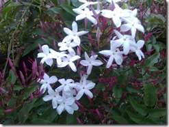 First Jasmine flowers. Photo by Nic Freeman
