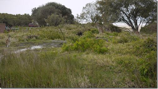 Kangaroos grazing (hiding) in Yuraygir Nationa Park