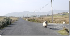 A stubborn sheep - The west coast of Ireland: Near Newport on way to Achill Island