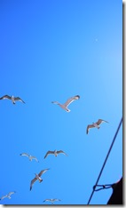 Gulls circling the ferry to The Princes' Islands Istanbul Turkey
