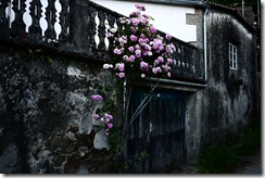 Roses in bloom - Walking Camino de Santiago from Sarria, Spain