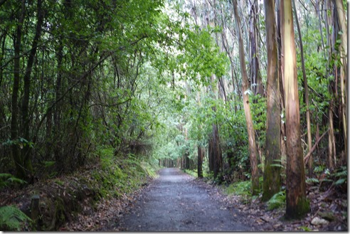 Gum trees - Walking Camino de Santiago from Sarria, Spain