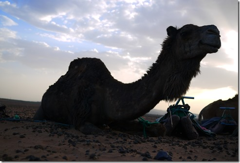 My camel for a day in  the Sahara Desert, Morocco