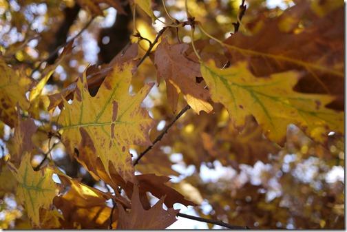 Autumn leaves Melbourne Australia